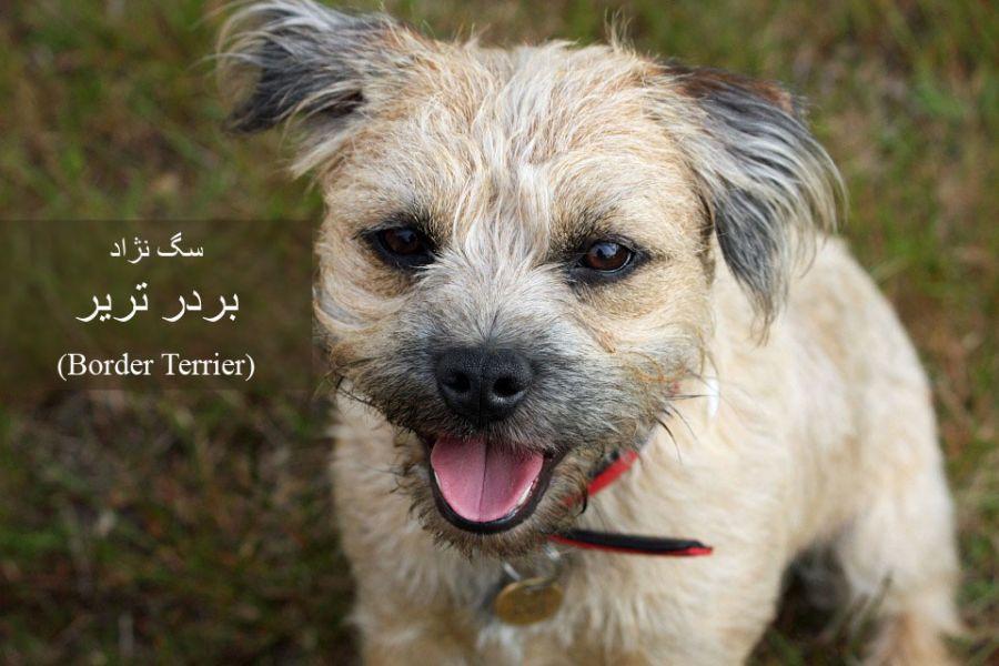 سگ نژاد بردر تریر (Border Terrier) + گالری تصاویر
