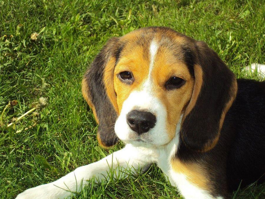 معرفی سگ نژاد بیگل (Beagle)