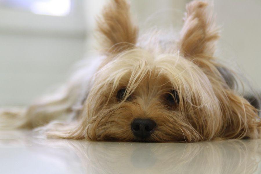معرفی نژاد سگ تریر اسکاتلندی (Aberdeen Terrier)