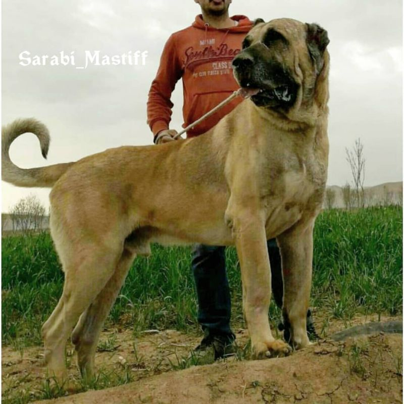 معرفی سگ سرابی (ماستیف ایرانی) نژادی قدیمی و بومی ایران