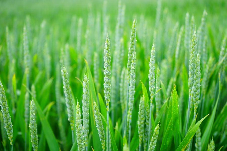 ۲ شعر زیبای مازندرانی به مناسبت روز جهاد کشاورزی + ترجمه