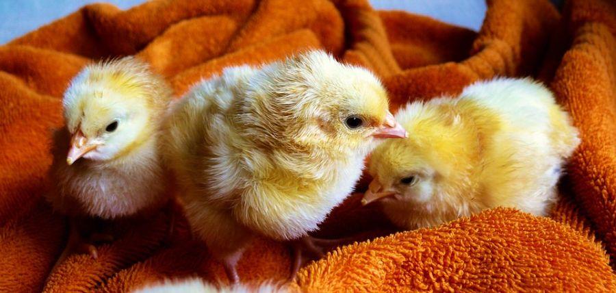 ۷ بیماری جوجه مرغ ها که باعث مرگ و مریضی می شود + پیشگیری و درمان