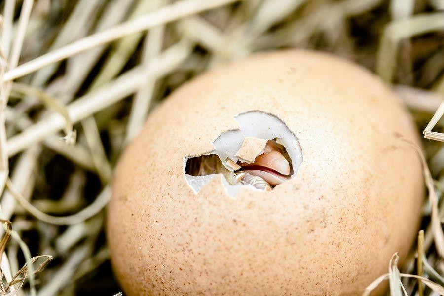 ۴۵ پرسش و پاسخ  کلیدی در مورد نگهداری جوجه مرغ