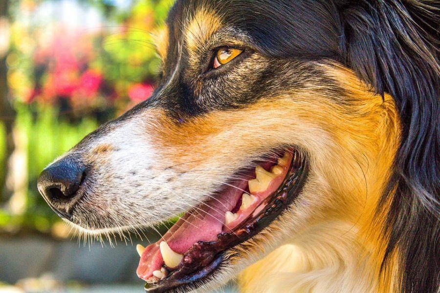 آیا از مشکلات خطرناک بینی سگ با خبر هستید؟ علائم، پیشگیری، درمان