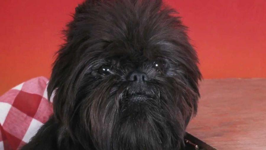 با سگ نژاد آفن پینچر (AffenPinscher) بیشتر آشنا شوید