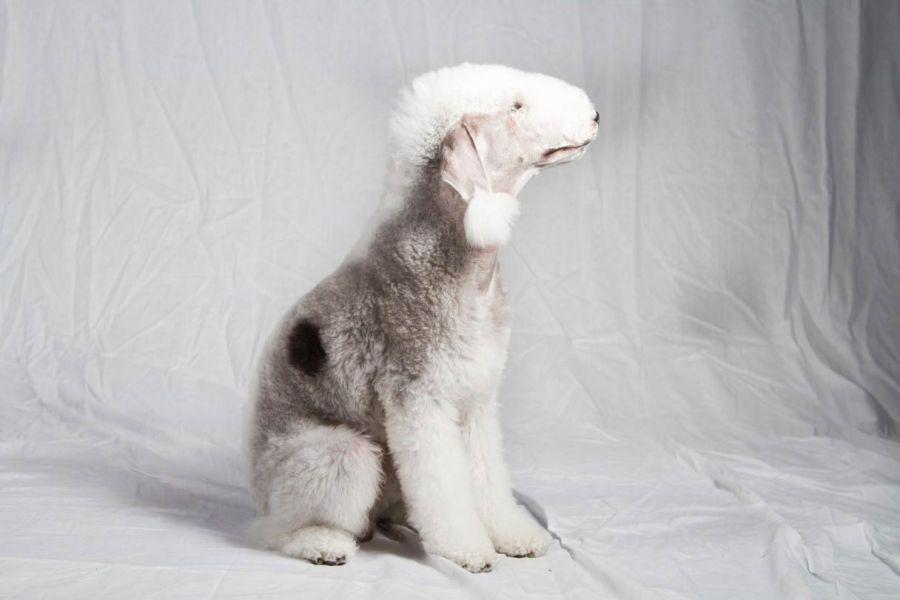معرفی کامل سگ نژاد بدلینگتون تریر (Bedlington Terrier)