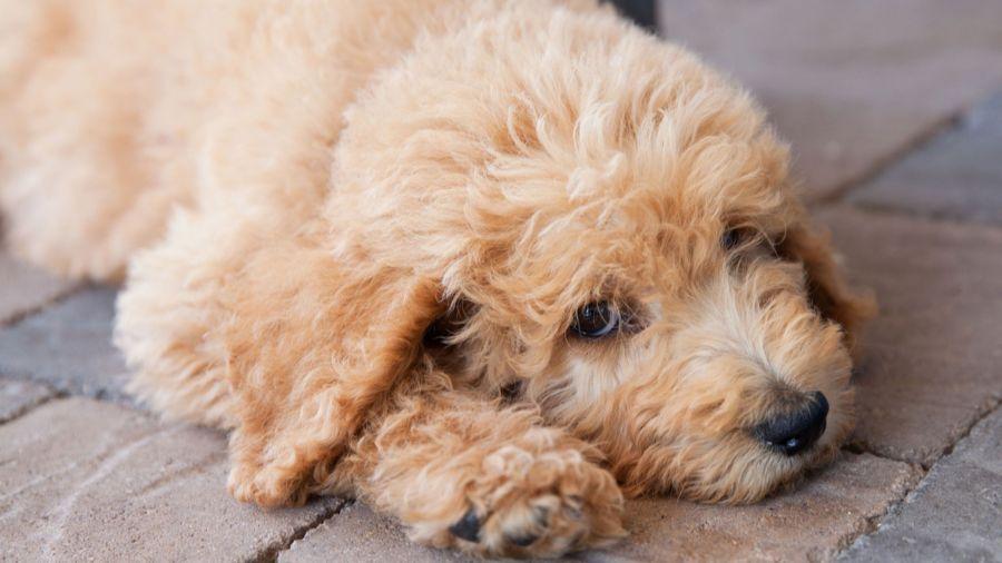 هر آنچه در مورد کوتاه کردن ناخن سگ باید بدانید!