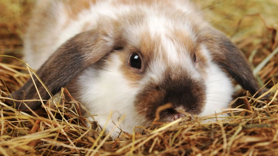 چگونه میتوان بی دردسر و اصولی ناخن خرگوش را کوتاه کرد؟