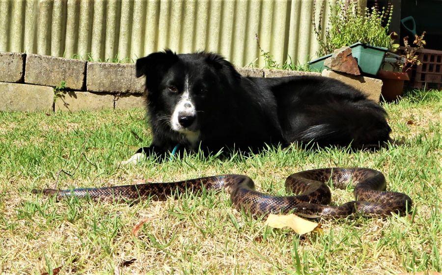 تشخیص و اقدامات لازم برای درمان سریع مارگزیدگی در سگ