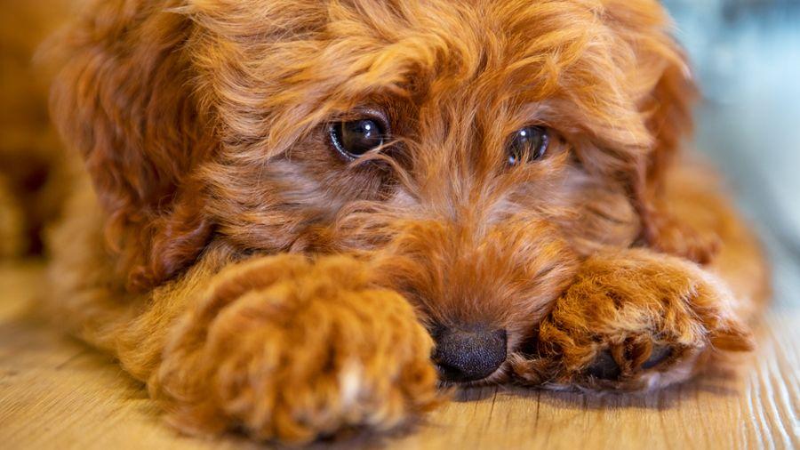نحوه تشخیص کم خونی سگ از پیشگیری تا درمان