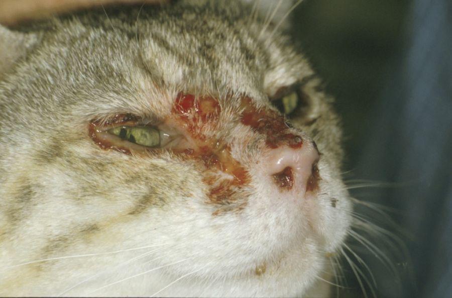 کلسی ویروس در گربه (calicivirus) :: علائم تشخیص و درمان سریع
