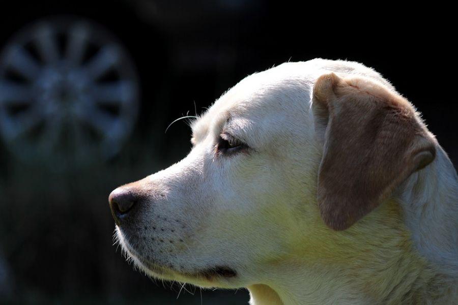 هر آنچه که در مورد دررفتگی کشکک زانو در سگ باید بدانید!!!