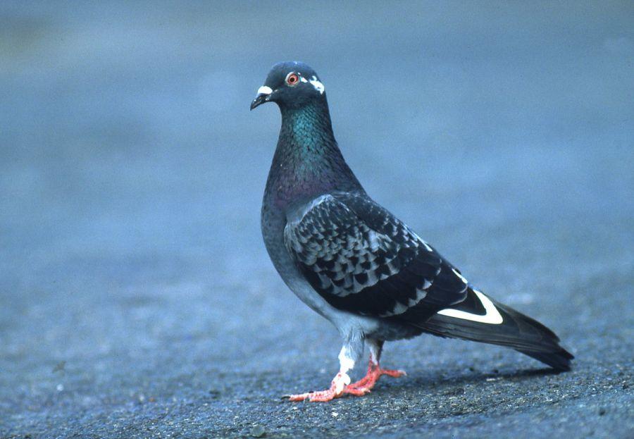 اصطلاحات زیبا و تخصصی کبوتر بازان (عشق بازا)
