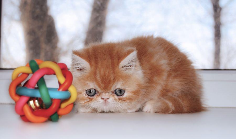 پن لکوپنی در گربه