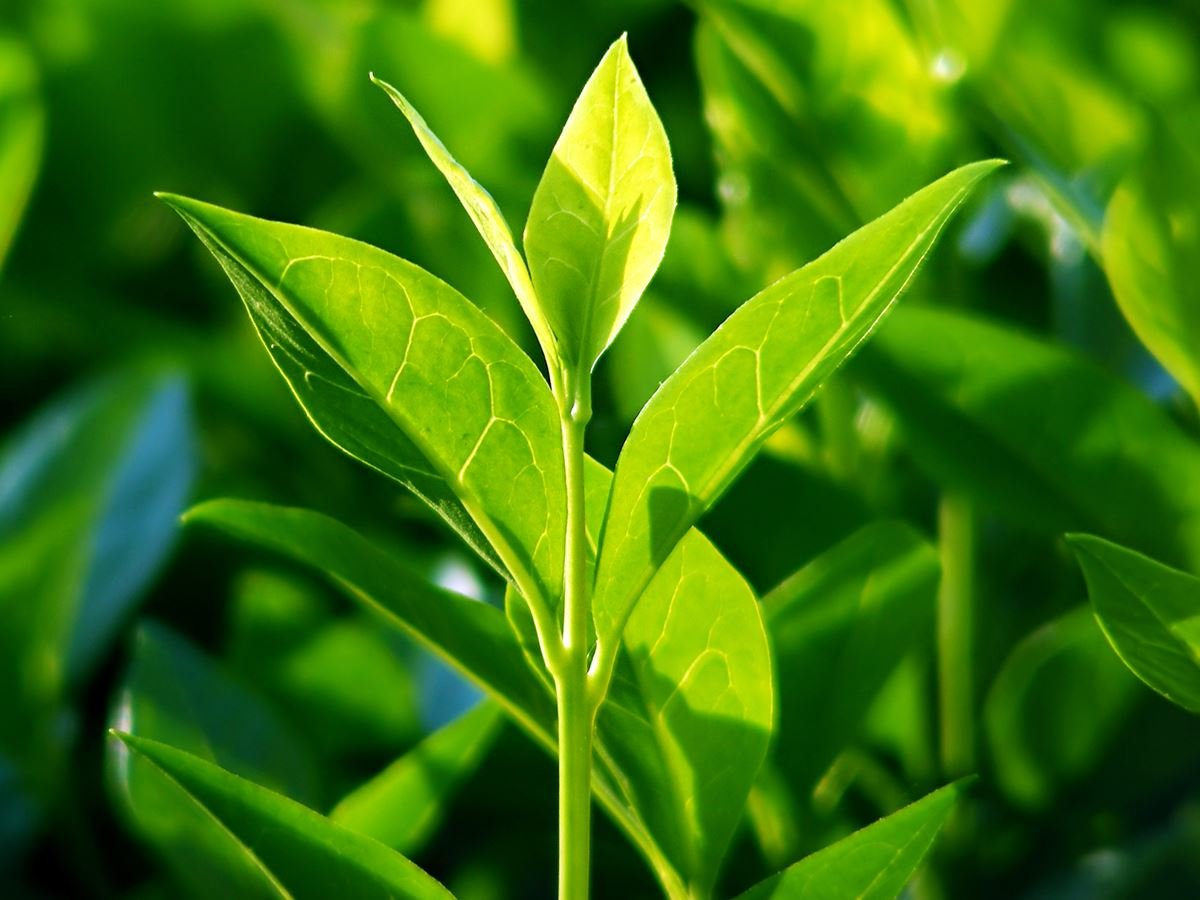 روغن چای سبز