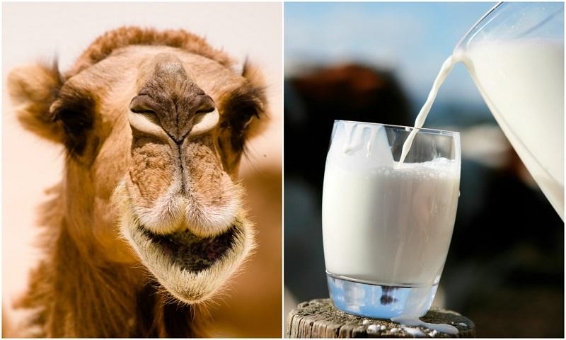 این 7 فایده شیر شتر راز سلامتی است