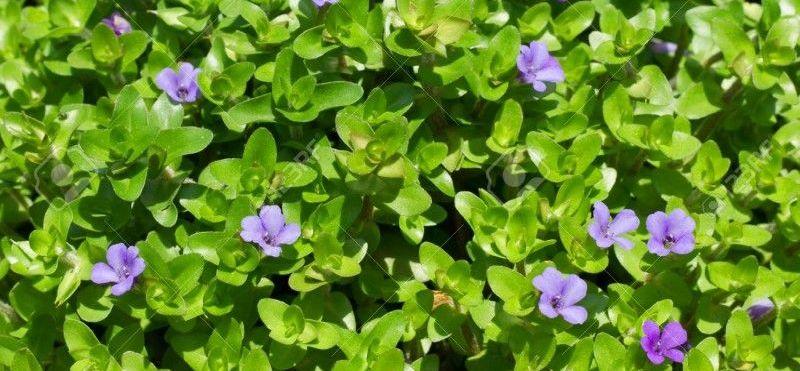 با گیاه دارویی نازباتلاقی بیشتر آشنا شوید