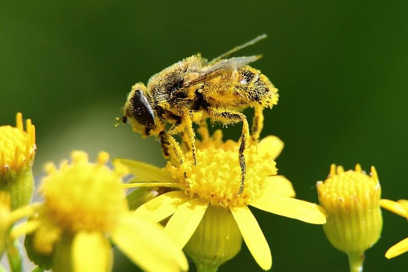 خواص باور نکردنی گرده زنبور عسل که تا کنون نمیدانستید!