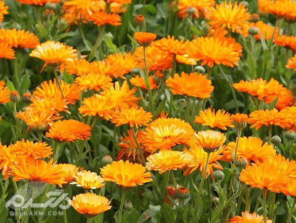 گل همیشه بهار,همیشه بهار,عصاره گل همیشه بهار