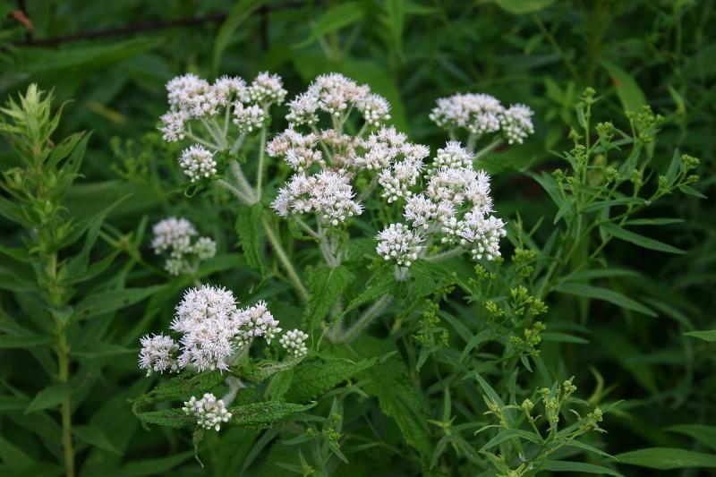گیاه دارویی یوپاتریوم