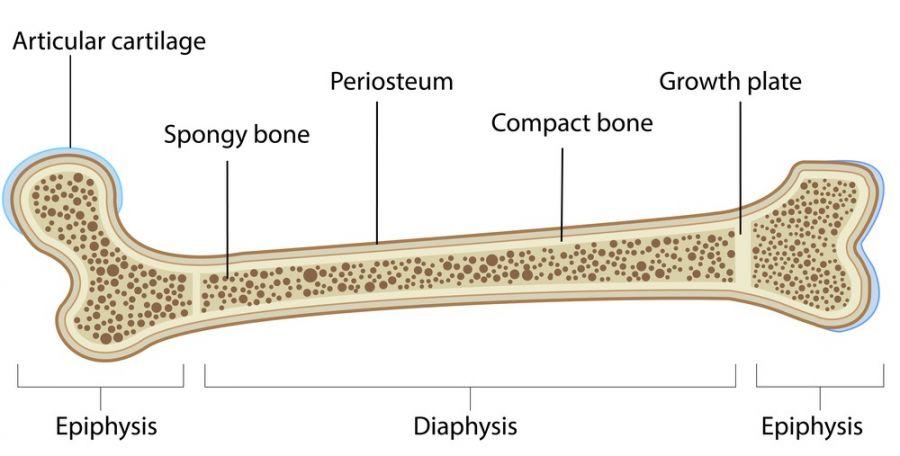 صفحه رشد استخوان تا چه زمانی باز میماند؟