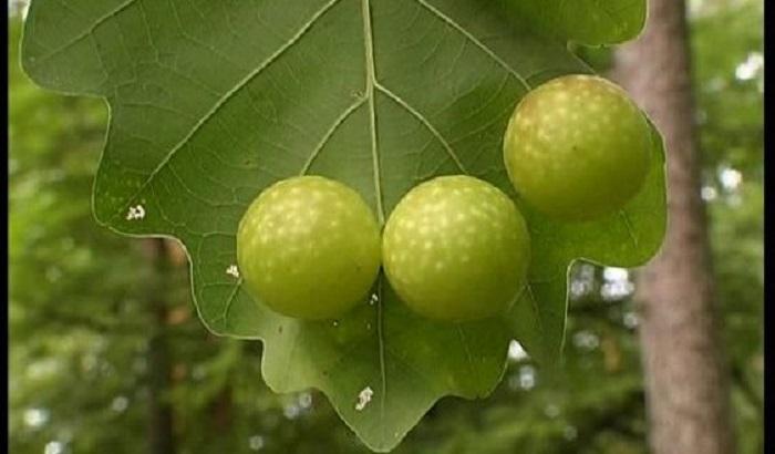 فواید مصرف گیاه مازو برای بدن
