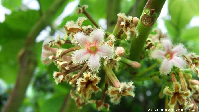 فواید درمانی گیاه گنه گنه و بذر آن کوینولا