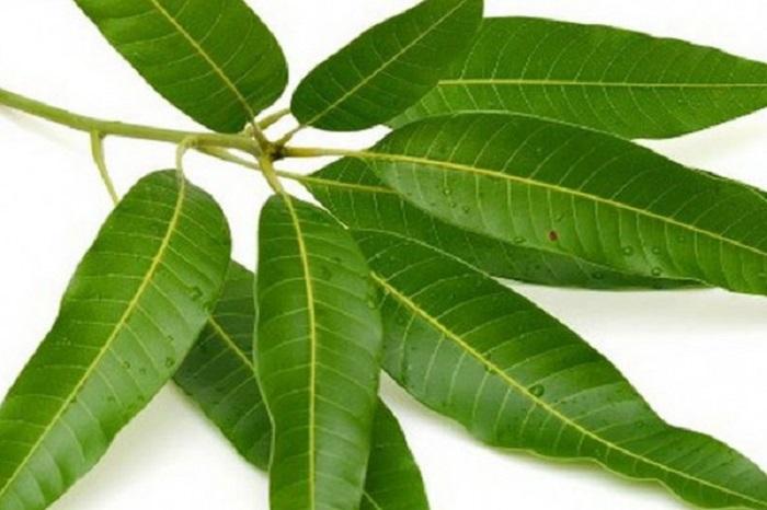 گیاهی معجزه آسا به نام برگ بو