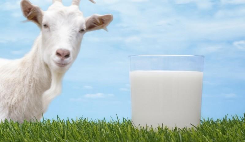 ۱۳ مزیت ثابت شده شیر بز برای سلامت بدن