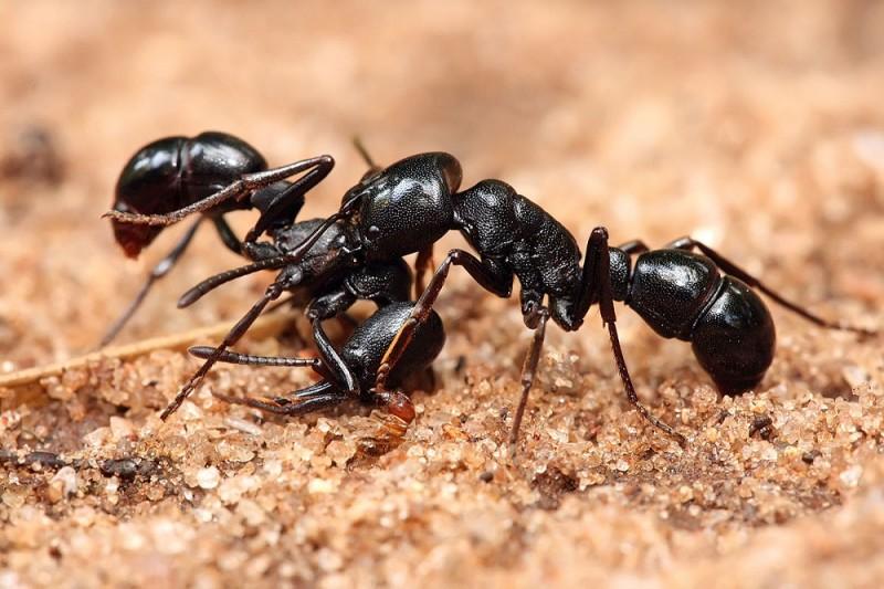 با طرز تهیه روغن مورچه در خانه آشنا شوید!