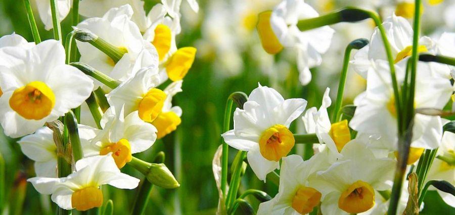 با روش کاشت گل نرگس آشنا شوید