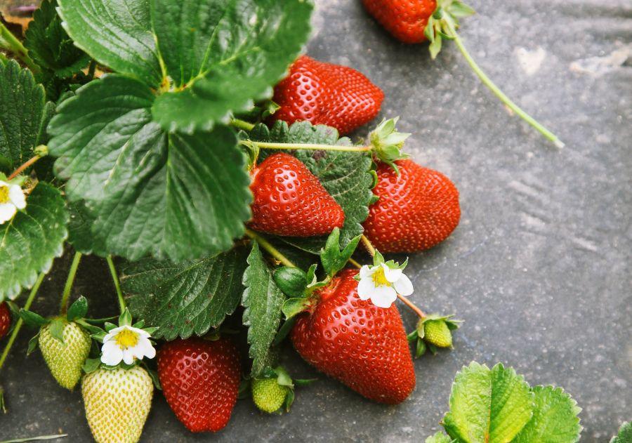 با روش کاشت بذر توت فرنگی در گلدان آشنا شوید