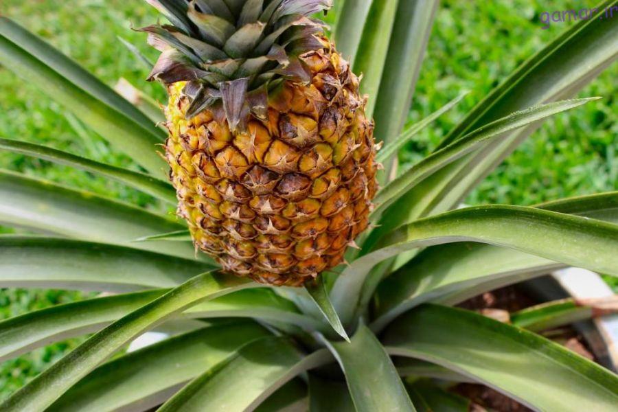 روش کاشت و تکثیر درخت یا بوته آناناس چگونه است؟