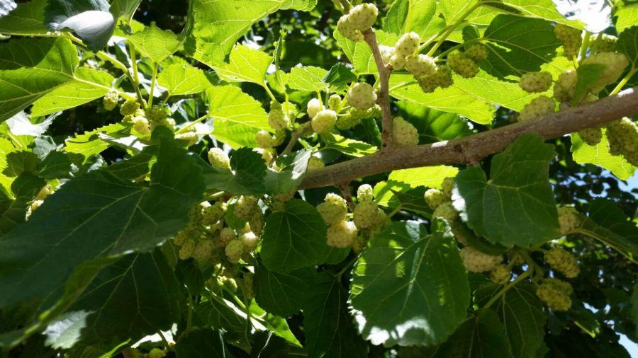 روش های کاشت و تکثیر  انواع درخت توت