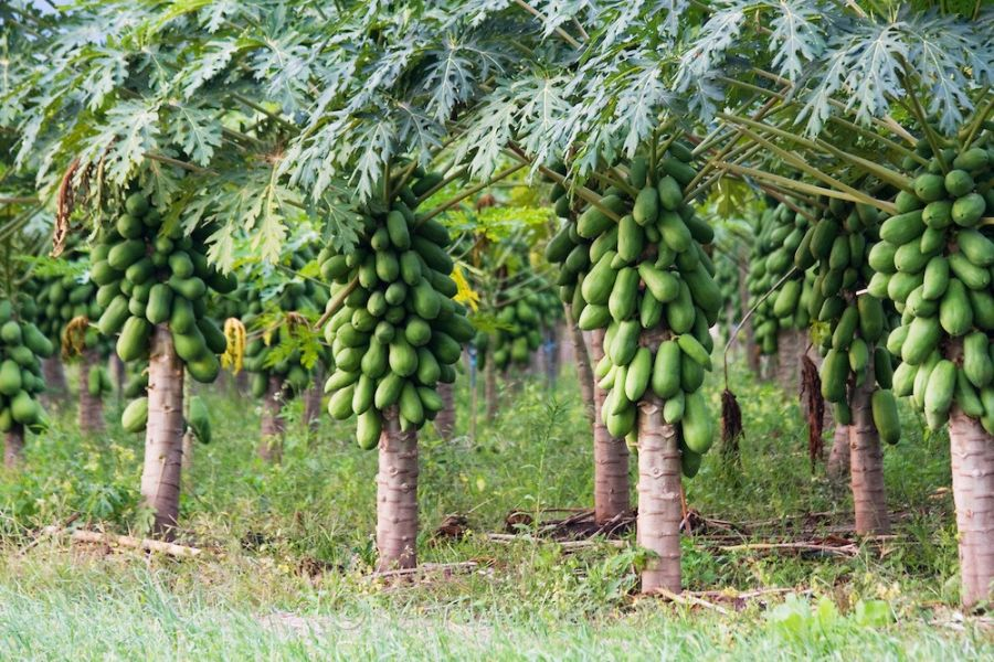 راهنمای کاشت و پرورش درخت پاپایا