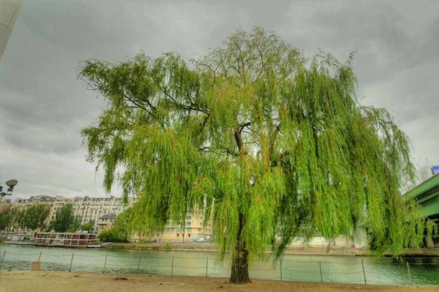 روش های کاشت و نگهداری درخت بید مجنون