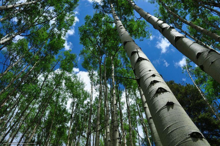 روش کاشت درخت تبریزی چگونه است؟