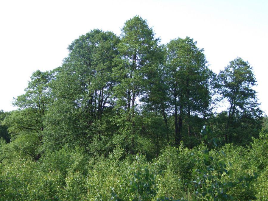 انواع گونه های درخت توسکا و روش های تکثیر آن