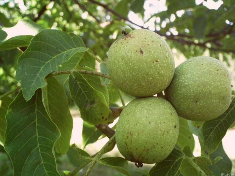 اصول کاشت و نگهداری از درخت گردو