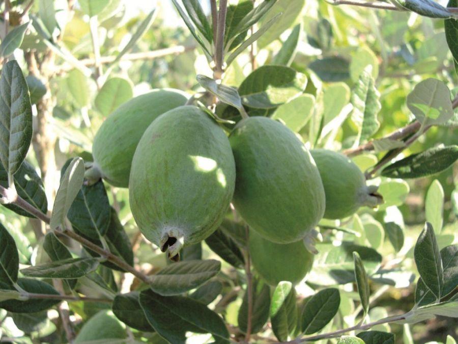 اصول کاشت و پرورش درخت فوجیا