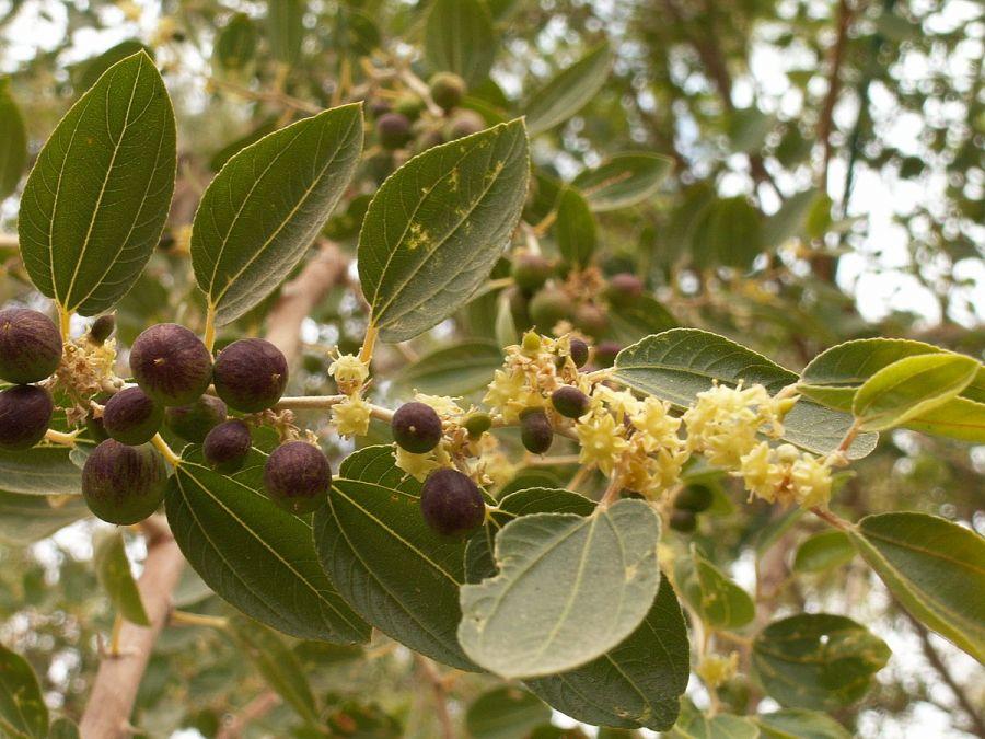 اصول کاشت و پرورش درخت کافور