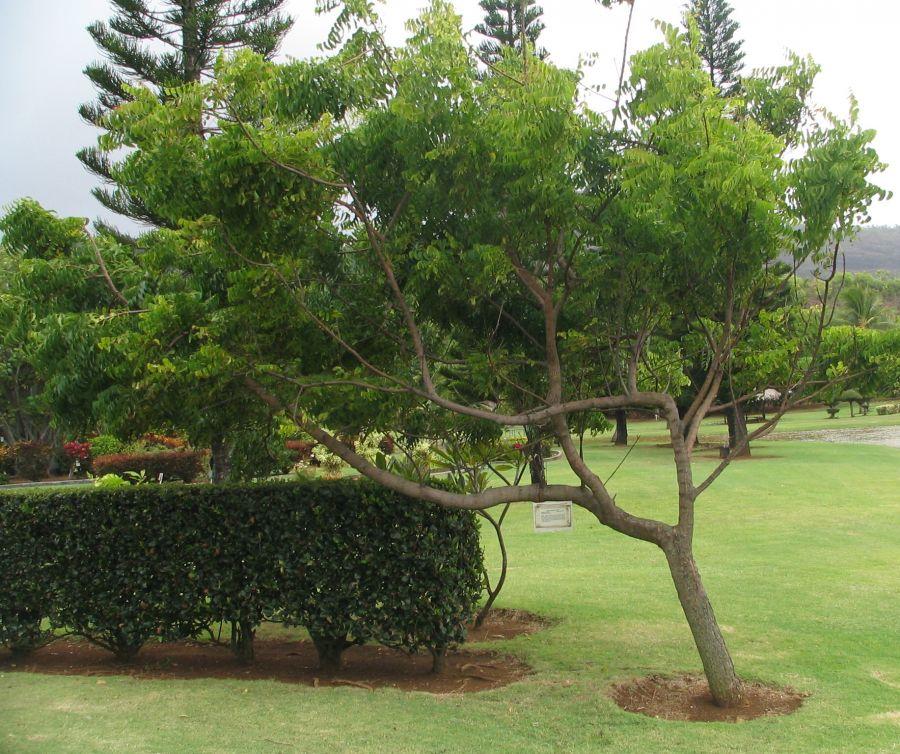 آشنایی با روش کاشت و نگهداری درخت چریش