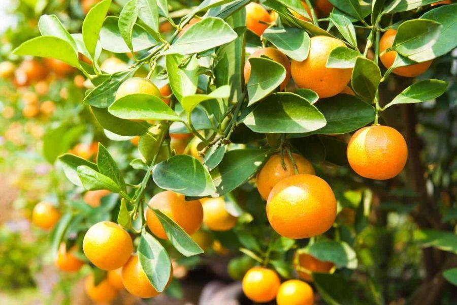 روش کاشت و تکثیر درخت نارنج