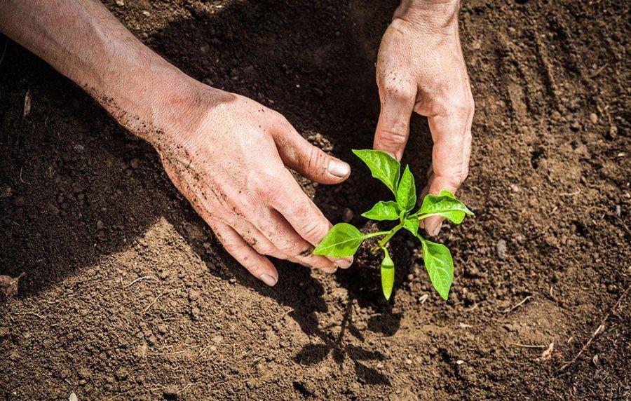 اصول کاشت و پرورش درخت نارون
