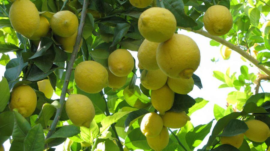 آموزش نحوه کاشت و تکثیر درخت لیمو شیرین
