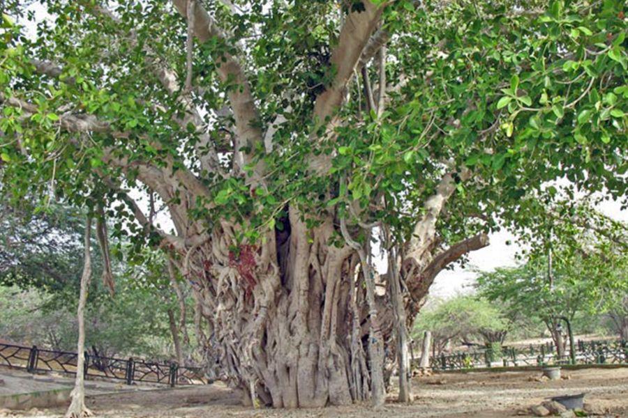 آشنایی با درخت لور یا انجیر معابد