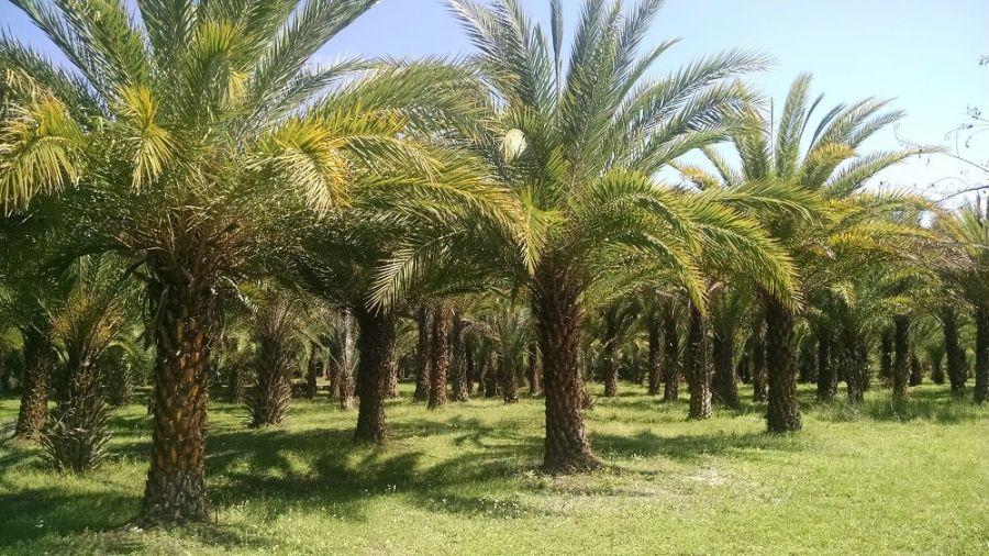 اصول کاشت و تکثیر درخت نخل