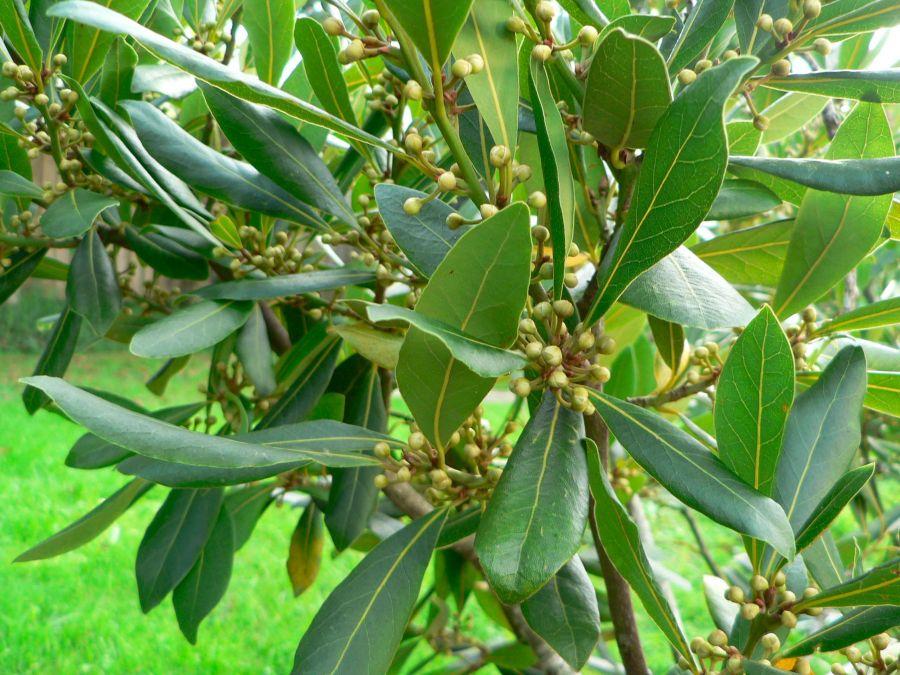 اصول کاشت و پرورش درخت برگ بو