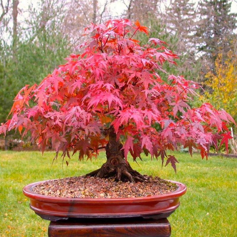 معرفی درخت افرای سرخ و روش تکثیر آن