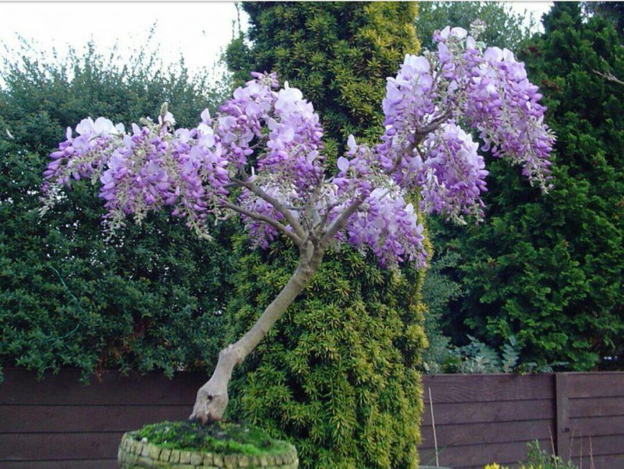 اصول کاشت و تکثیر درختچه تزئینی ویستریا